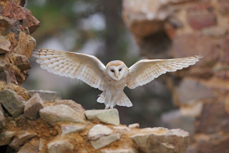 Schleiereule, Tyto alba, wenn die netten Flügel auf Steinwand fliegen, helle Vogellandung im alten Schloss, Tier im städtischen L stockbild