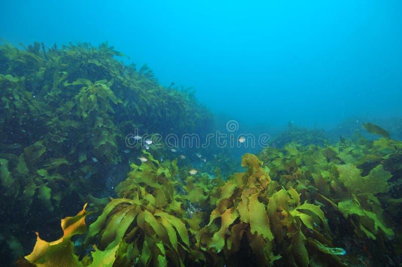 Schleifen, die unter Kelp sich verstecken lizenzfreies stockfoto