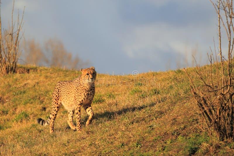 Schlendernder Gepard stockfotografie
