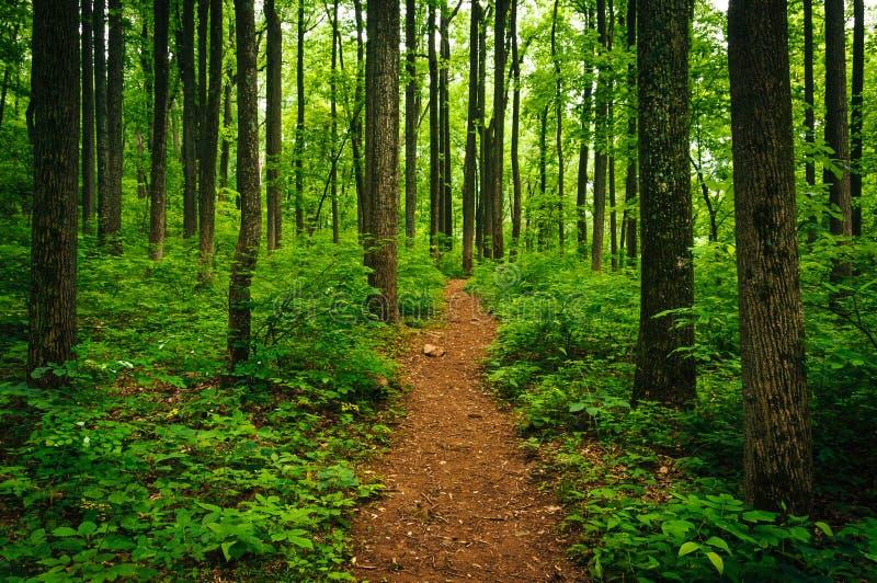 Schleppen Sie durch hohe Bäume in einem üppigen Wald, Shenandoah nationales P lizenzfreies stockfoto