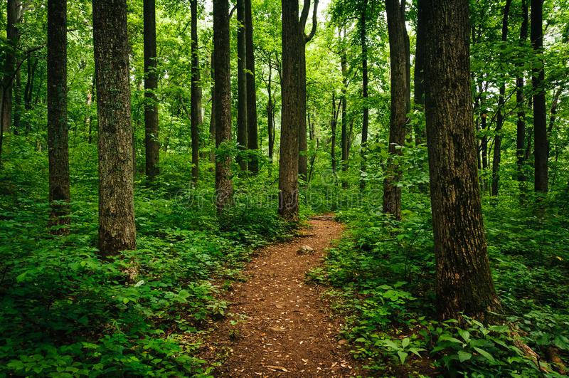 Schleppen Sie durch hohe Bäume in einem üppigen Wald, Shenandoah nationales P lizenzfreie stockfotos