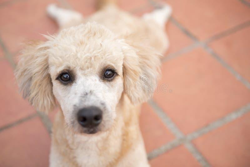 Schließen Sie bis zum Auge des traurigen Pudelhundes lizenzfreie stockfotos