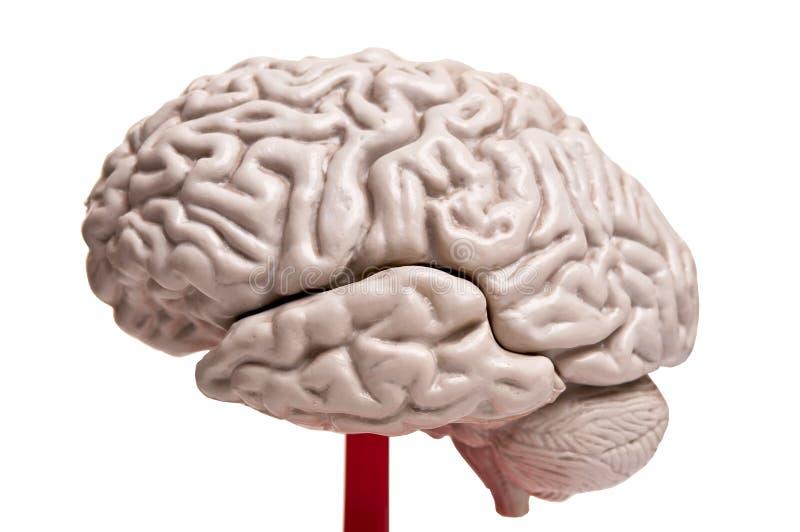 Nahaufnahme zur Anatomie des menschlichen Gehirns lizenzfreie stockbilder