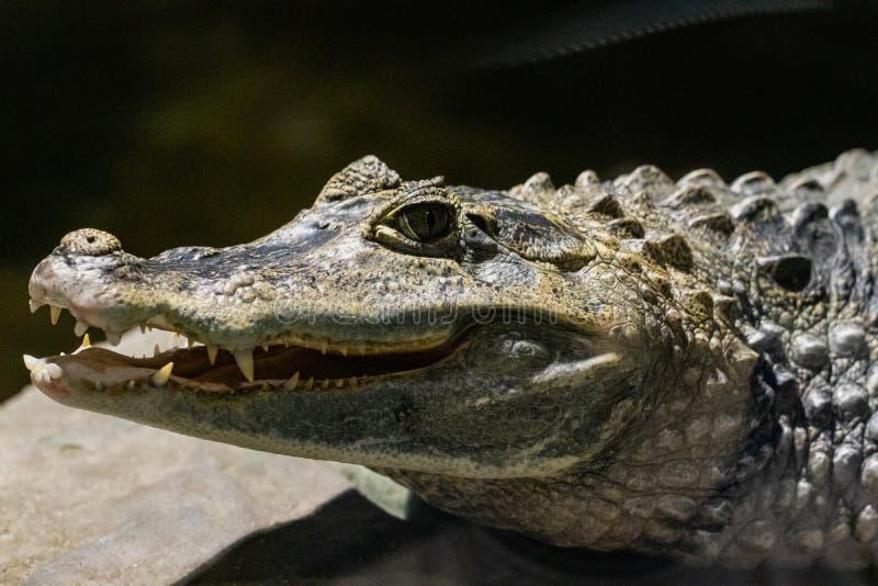 Schließen Sie herauf Alligator- oder Krokodillächeln und zeigt ihre Zähne lizenzfreie stockbilder