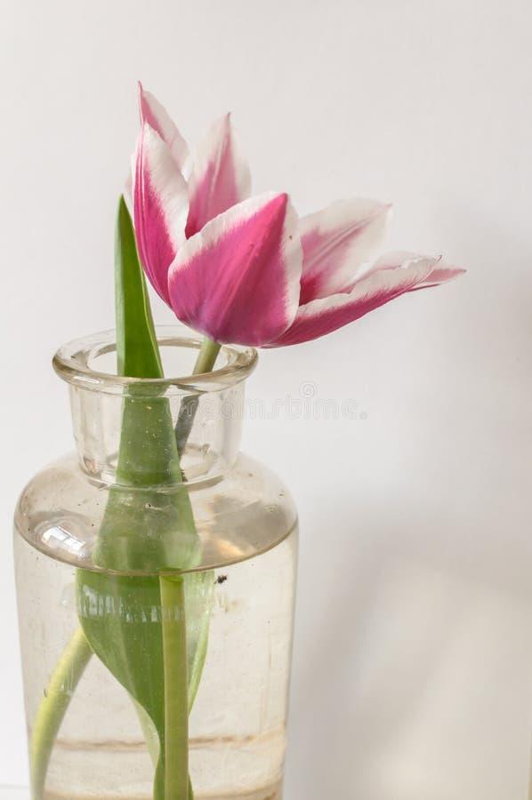Schließen Sie herauf Ansicht der schönen roten und weißen Tulpenblume in der Flasche, die auf Grau lokalisiert wird lizenzfreies stockbild
