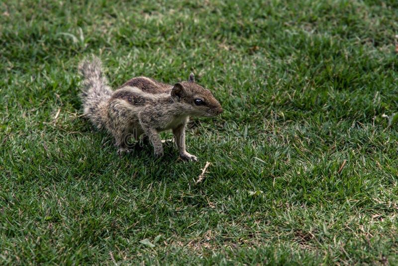 Schließen Sie herauf Ansicht des kleinen Eichhörnchens auf dem grünen Gras im Garten lizenzfreie stockfotos