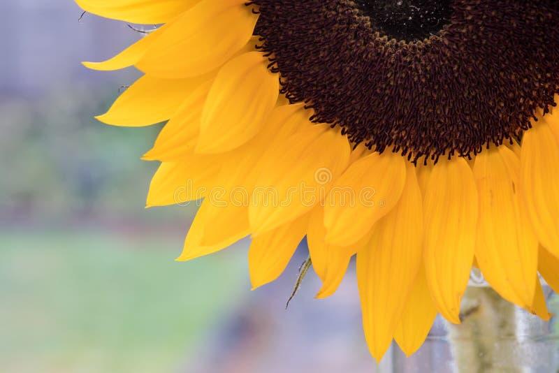 Schließen Sie herauf Ansicht einer Sonnenblume lizenzfreie stockfotografie
