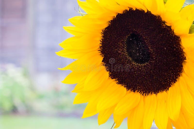 Schließen Sie herauf Ansicht einer Sonnenblume stockbilder