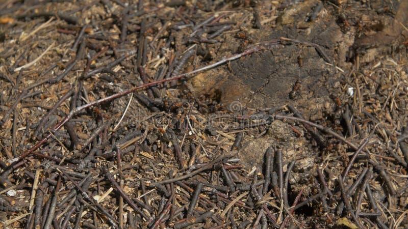 Schließen Sie herauf Ansicht von Ameisen auf Stein, Tischlerameise, Camponotus herculeanus Teamwork: schwarze und rote Ameisen au lizenzfreies stockfoto