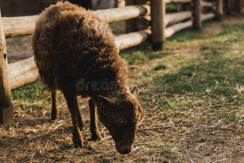 schließen Sie herauf Ansicht von den braunen Schafen, die Gras in der Hürde mit Bretterzaun essen lizenzfreie stockfotografie