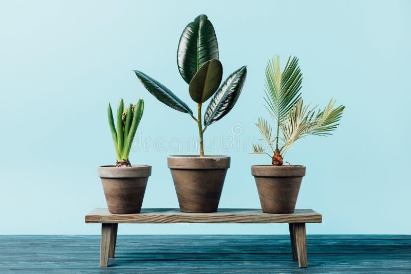 schließen Sie herauf Ansicht von Grünpflanzen in den Blumentöpfen auf der hölzernen dekorativen Bank, die auf Blau lokalisiert wi lizenzfreies stockbild