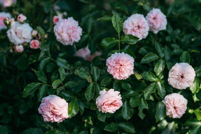 schließen Sie herauf Ansicht von hellrosa rosafarbenen Blumen lizenzfreie stockbilder
