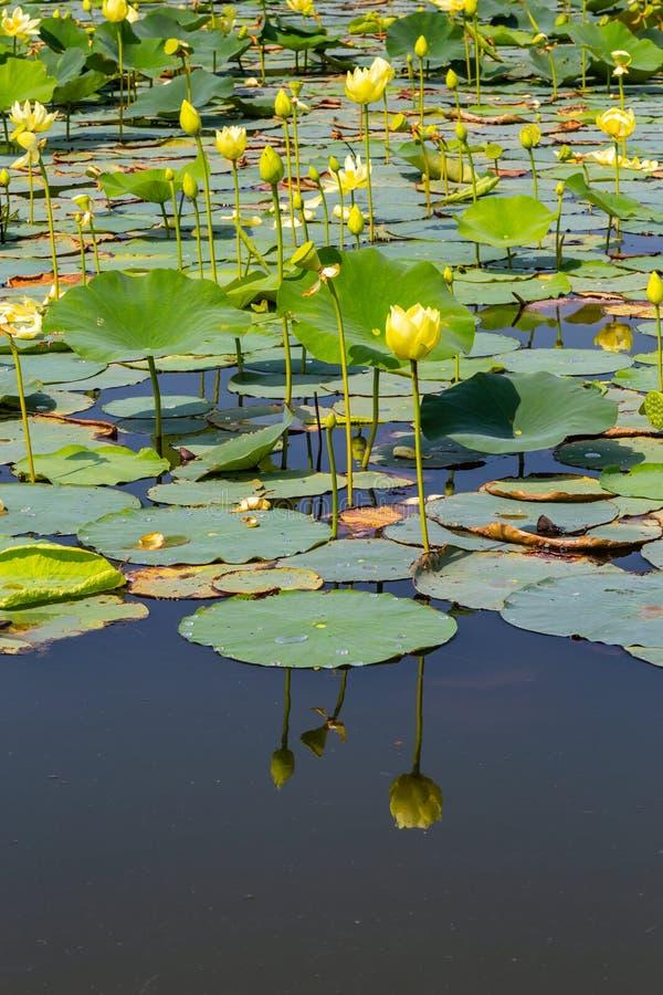 Schließen Sie herauf Ansicht von Reflexionen von Seeroseblumen auf Carter Lake Iowa lizenzfreies stockbild