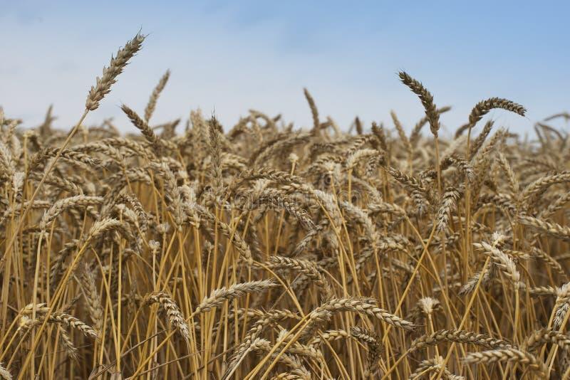 Schließen Sie herauf Bild auf dem riped archivierten Weizen Getrocknete gelbe Körner und Strohe am Sommertag, der auf den Mähdres stockbilder