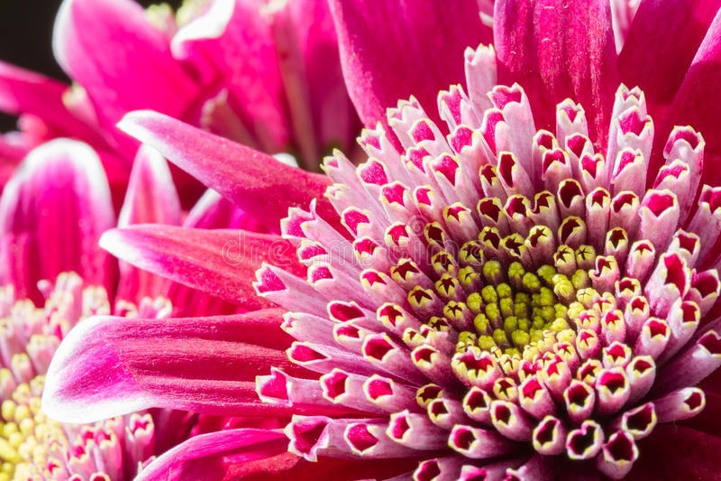 Schließen Sie herauf Bild der dunklen rosa Chrysantheme lizenzfreie stockfotografie