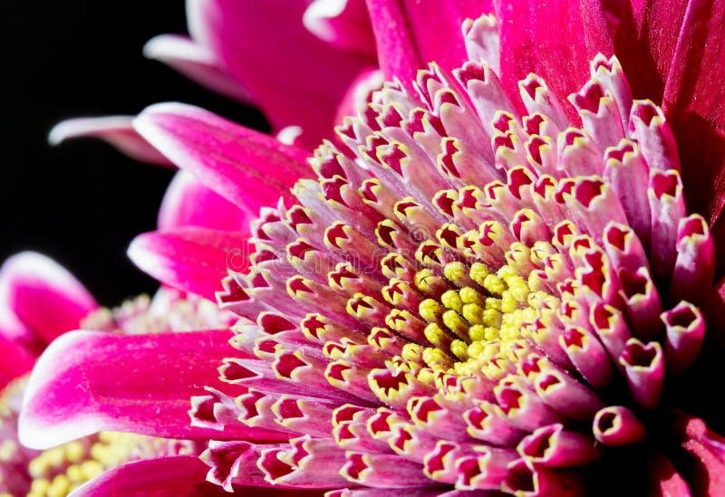 Schließen Sie herauf Bild der dunklen rosa Chrysantheme stockfoto