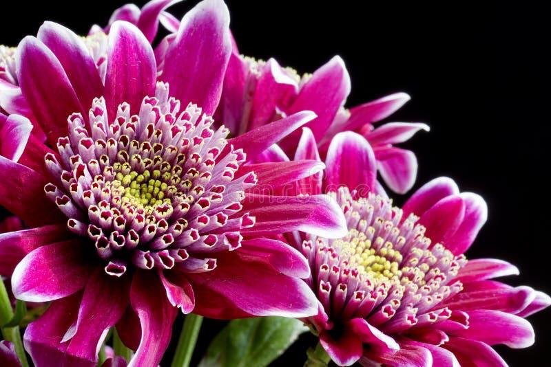 Schließen Sie herauf Bild der dunklen rosa Chrysantheme stockbild