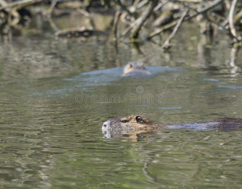 Schließen Sie herauf Bisamratte Ondatra zibethicus Schwimmen im Sumpfsee, s stockfoto