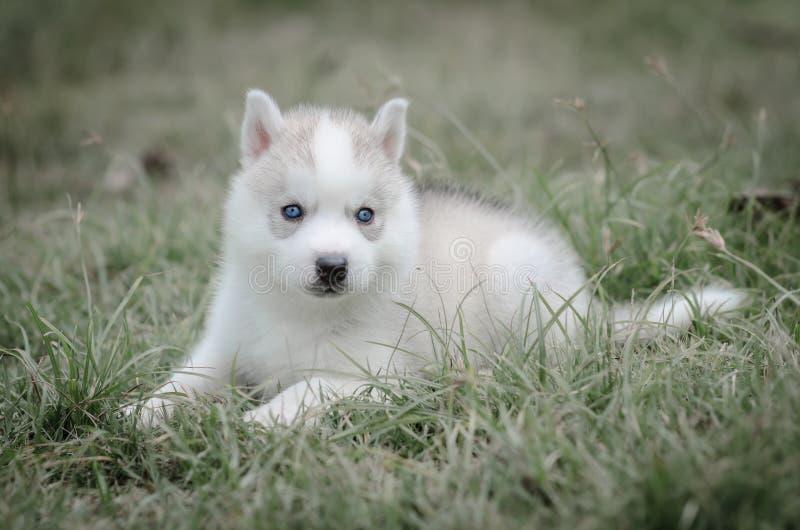 Schließen Sie herauf blaue Augen des netten Welpen stockbild