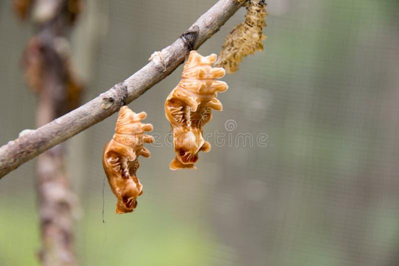 Schließen Sie herauf braunen Schmetterling, den Puppen auf Niederlassung entwurmen stockbilder