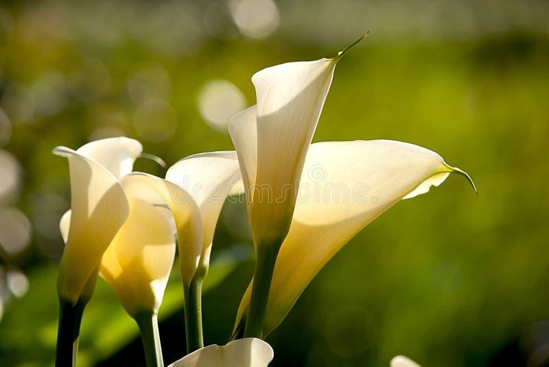 Schließen Sie herauf Calla-Lilie mit schwarzem Hintergrund stockbilder