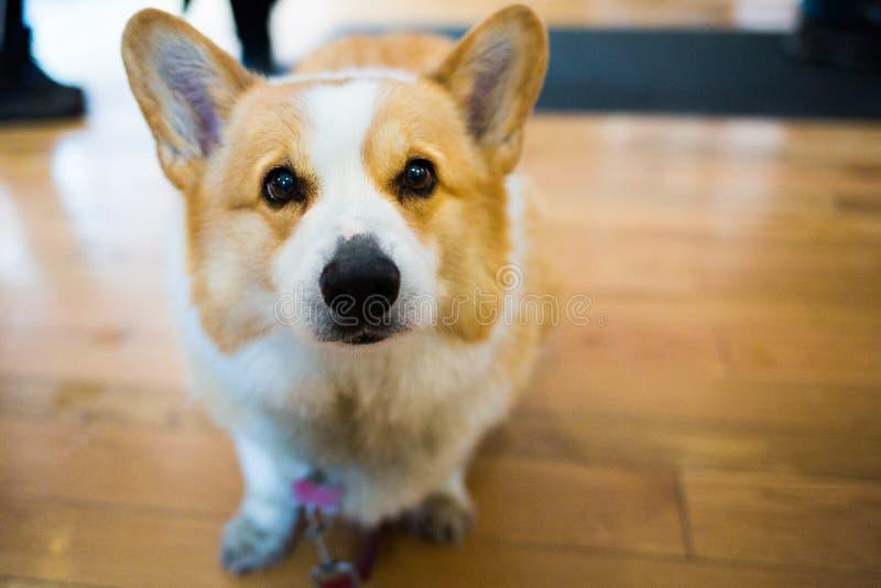 Schließen Sie herauf den netten Corgihund, der die Kamera betrachtet lizenzfreies stockfoto