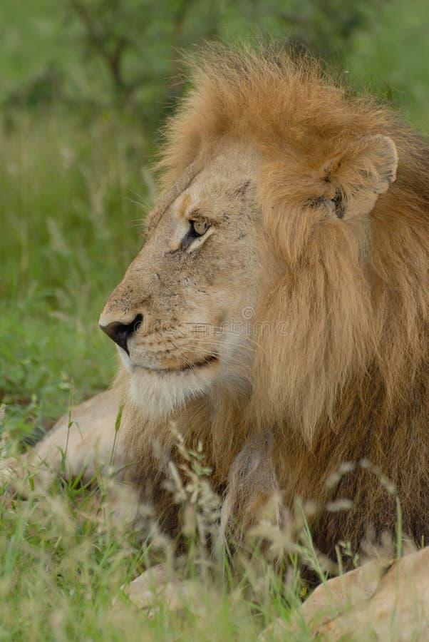 Schließen Sie herauf den Seitenheadshot des männlichen Löwes liegend im Gras stockfotos