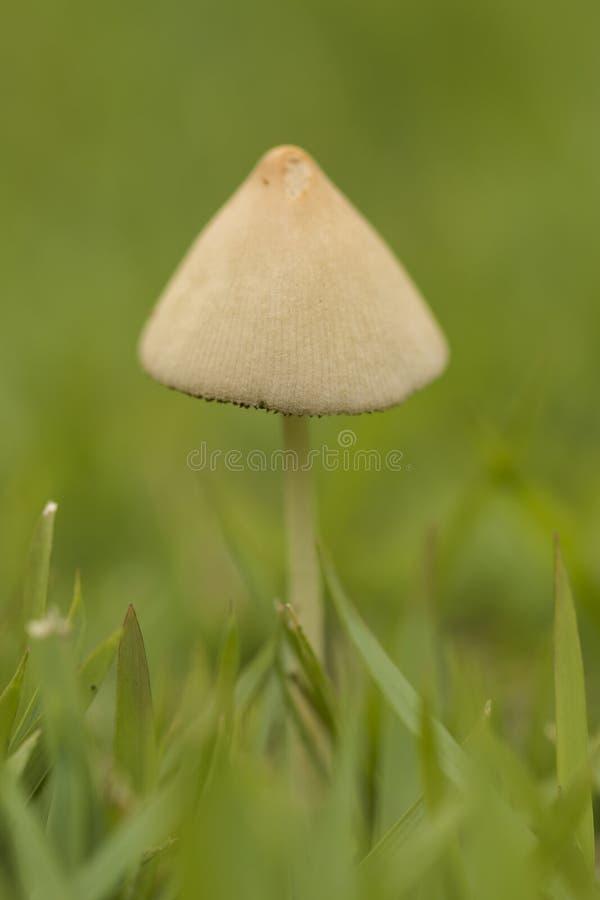 Schließen Sie herauf Detail von kleinen weißen Pilzen einer auf grünem Gras lizenzfreies stockfoto