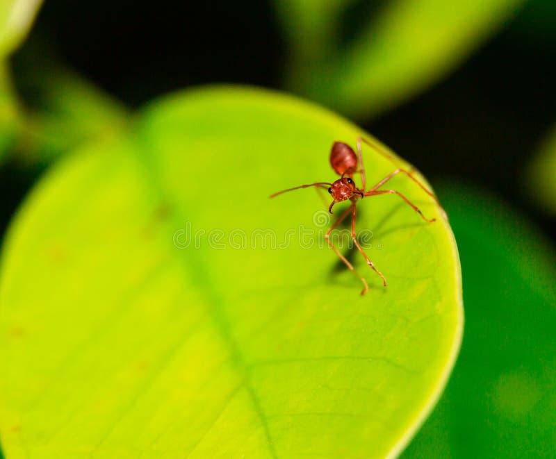 Schließen Sie herauf die Ameise auf dem Blattmakro lizenzfreie stockfotos