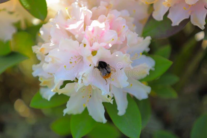Schließen Sie herauf die Ansicht der Hummel lokalisiert auf hellrosa Blume des Rhododendrons Erstaunlicher Naturhintergrund stockbilder