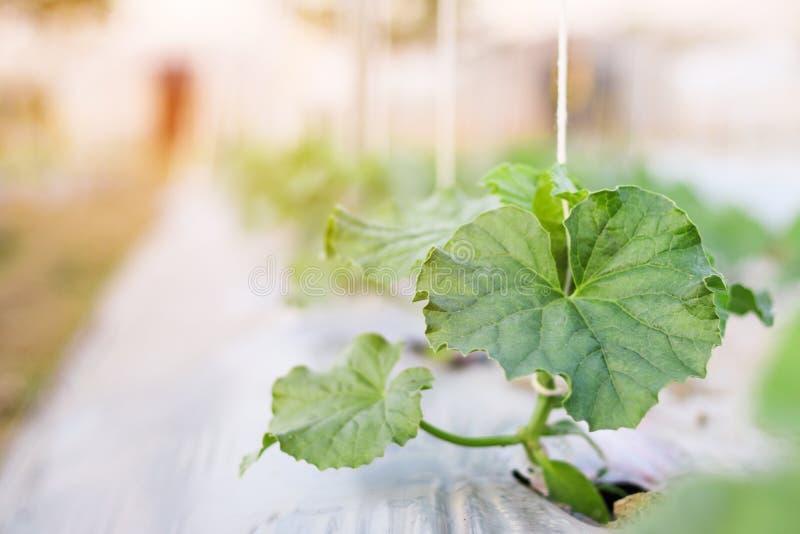 Schließen Sie herauf die Sämlingsmelone, die im Feldbetriebslandwirtschaftsbauernhof wächst stockbilder