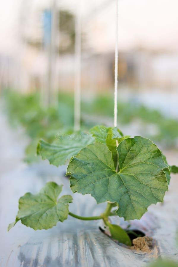 Schließen Sie herauf die Sämlingsmelone, die im Feldbetriebslandwirtschaftsbauernhof wächst stockfoto