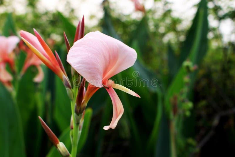 Schließen Sie herauf die schönen alten rosafarbenen Farben von Indica Blume Canna oder allgemein bekannt als Blumenrohr oder afri lizenzfreies stockfoto