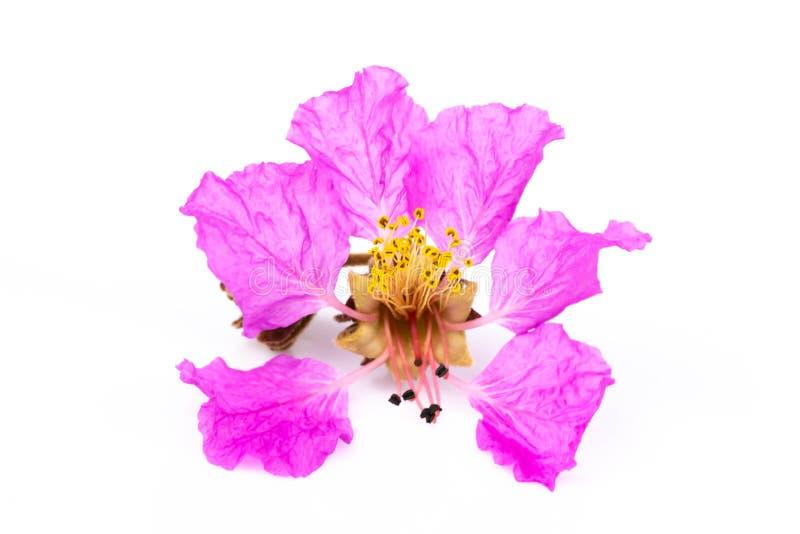 Schließen Sie herauf die Veilchenblumen, die auf weißem Hintergrund lokalisiert werden lizenzfreie stockfotografie