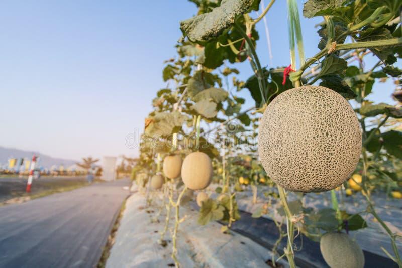Schließen Sie herauf die wachsende Melone vorbereiten für Ernte in der Feldanlage lizenzfreie stockfotos