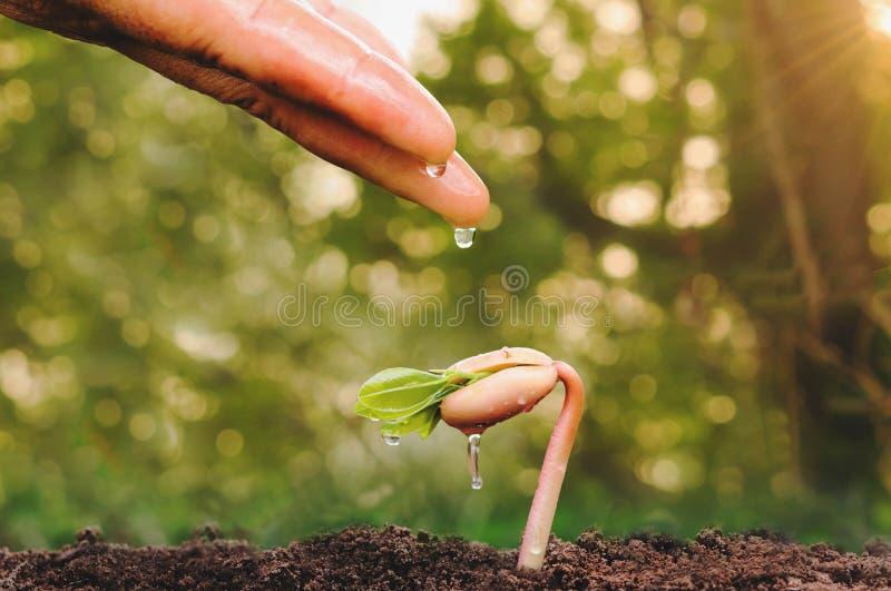 Schließen Sie herauf die weibliche Hand, die kleinen Baum wässert stockfotos