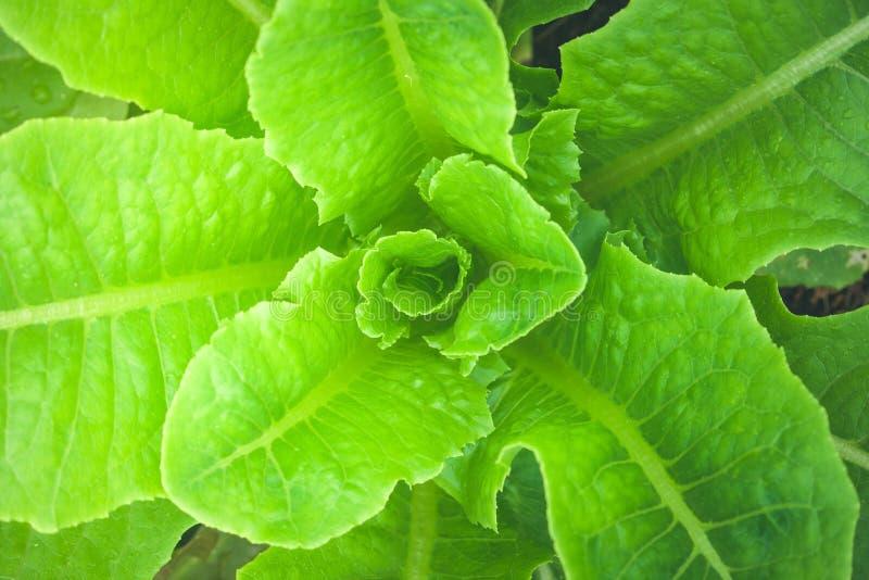 Schließen Sie herauf Draufsicht von Cos Lettuce-Gemüse im Garten lizenzfreie stockfotografie