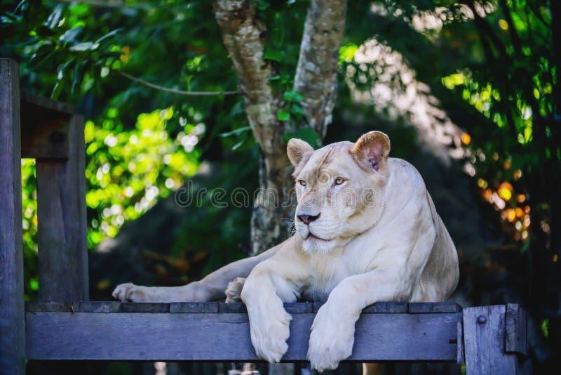 Schließen Sie herauf eine weiße Löwin, die intensiv schaut stockbild
