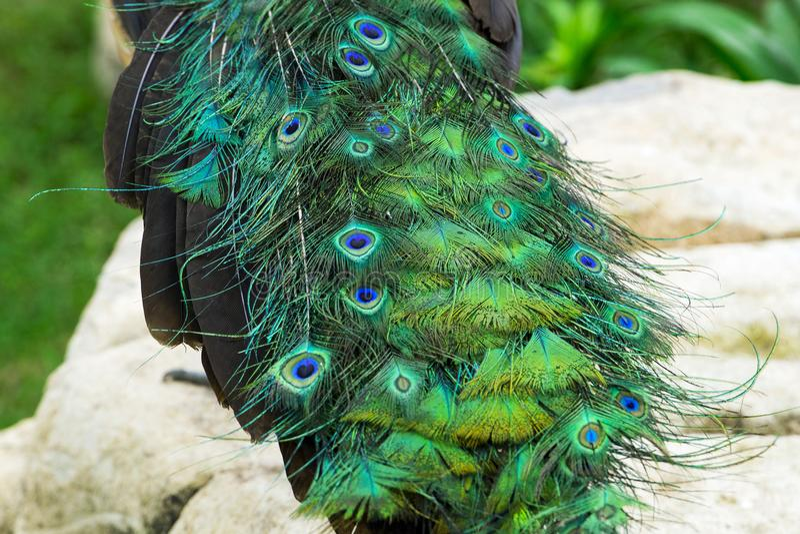 Schließen Sie herauf Endstück des schönen Pfaus mit Steinen und Grünpflanzen lizenzfreie stockfotografie