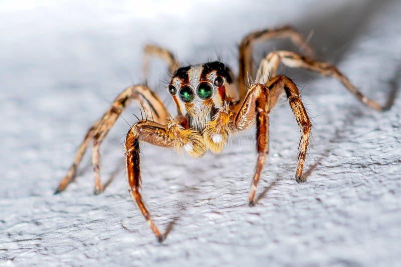 Schließen Sie herauf extreme lineare Wiedergabe - springende Spinne stockfotos