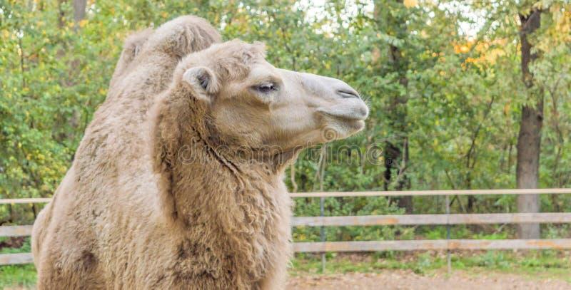 Schließen Sie herauf Foto des Kamelkopfes im Zoo lizenzfreie stockfotos