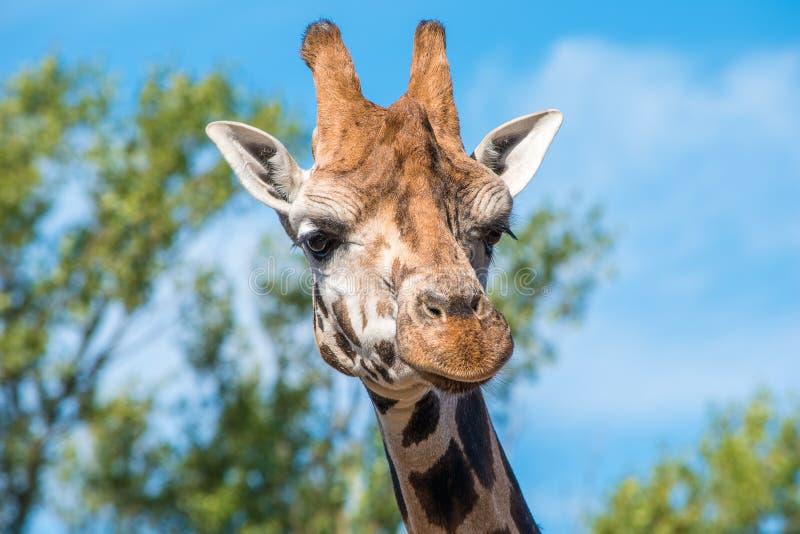 Schließen Sie herauf Foto einer Rothschild-Giraffe lizenzfreies stockfoto
