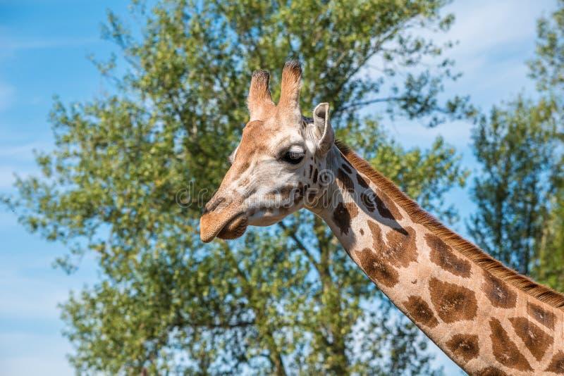 Schließen Sie herauf Foto einer Rothschild-Giraffe stockfotografie