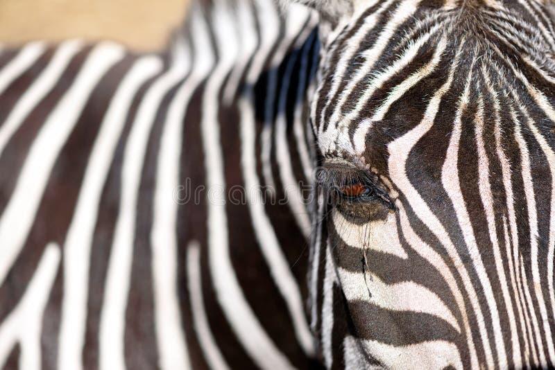 Schließen Sie herauf Foto eines Auges eines Zebras lizenzfreie stockbilder