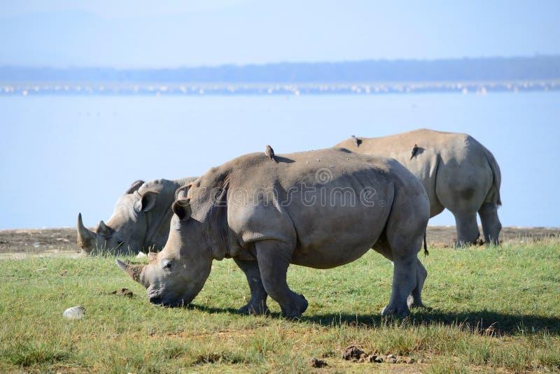 schließen Sie herauf Foto eines gefährdeten weißen Nashorns/des Nashorngesichtes, des -horns und des -auges Berühmter Kanonkop We lizenzfreie stockfotografie