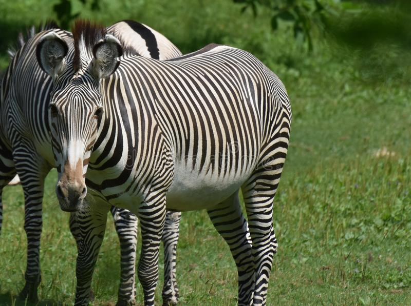 Schließen Sie herauf Foto eines gestreiften Zebras stockfotos