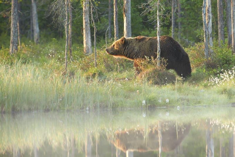 Schließen Sie herauf Foto eines wilden, großen Braunbären, Ursus arctos, auf der Bank der kleinen Lagune stockbild