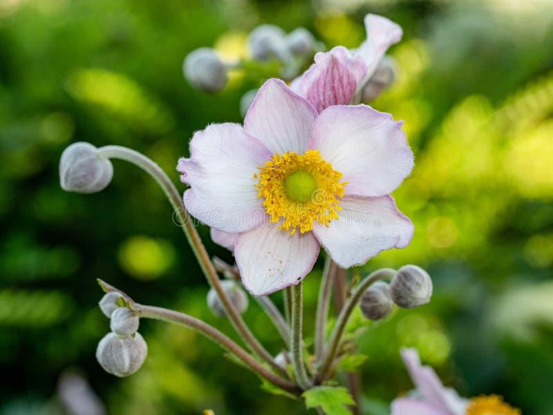 Schließen Sie herauf Foto japanischer Anemone Anemone hupehensis Blume lizenzfreies stockbild