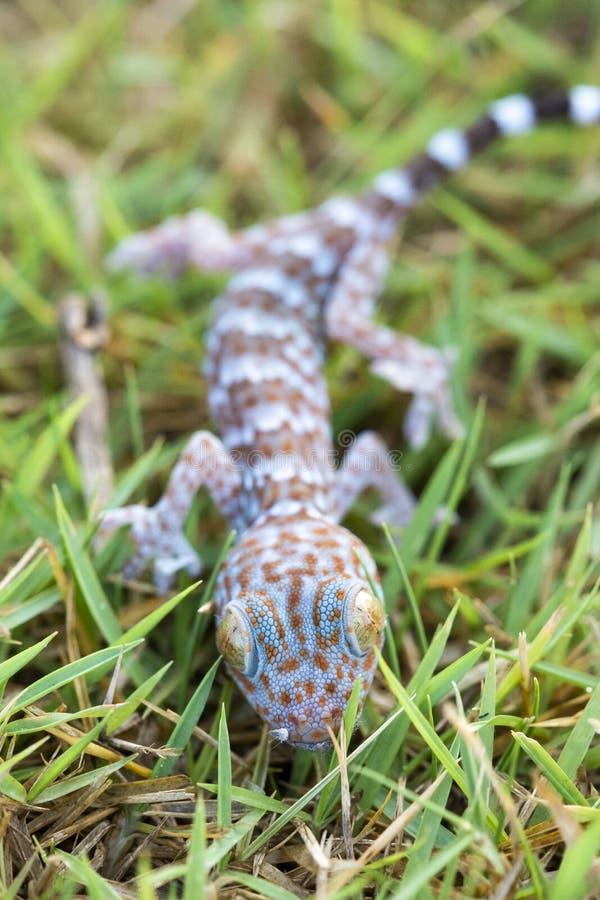 Schließen Sie herauf Gecko auf Rasen, viele orange Farbpunkte, die auf blauer SK verbreitet werden stockfotos