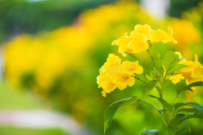 Schließen Sie herauf gelbe Ältest-Blume im Park stockfoto